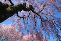 Weeping Cherries, Holmdel Park, NJ